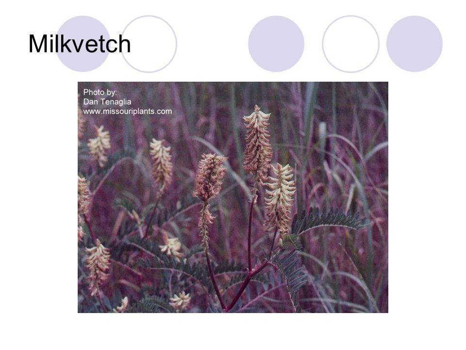 Milkvetch