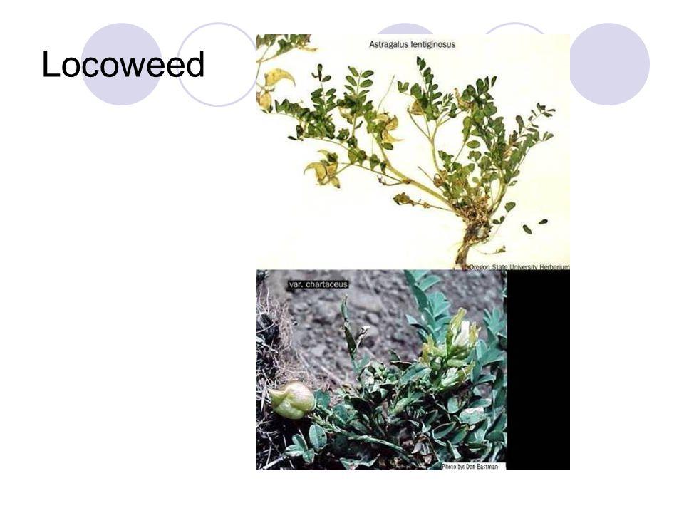Locoweed