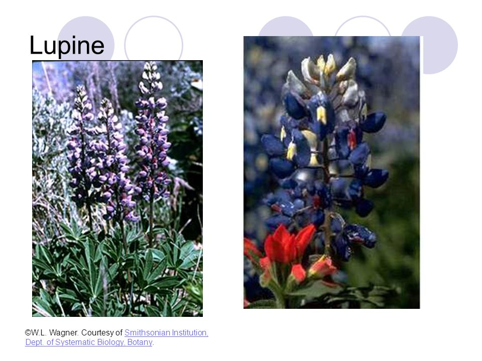 Lupine ©W.L. Wagner. Courtesy of Smithsonian Institution, Dept.