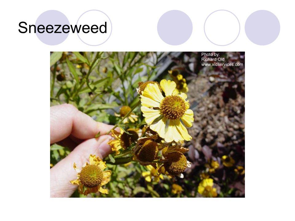Sneezeweed