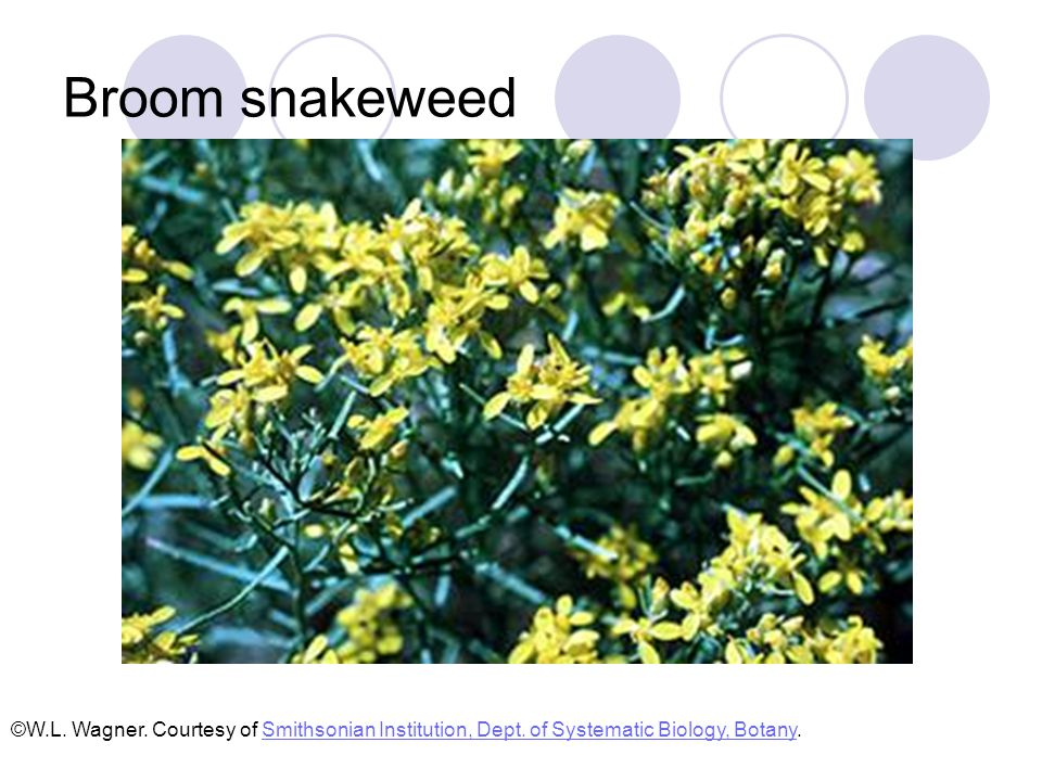 Broom snakeweed Low, perennial half-shrub 1 to 2 feet tall Many branched Leaves are linear, entire, and alternately arranged Yellow flowers in small composite heads