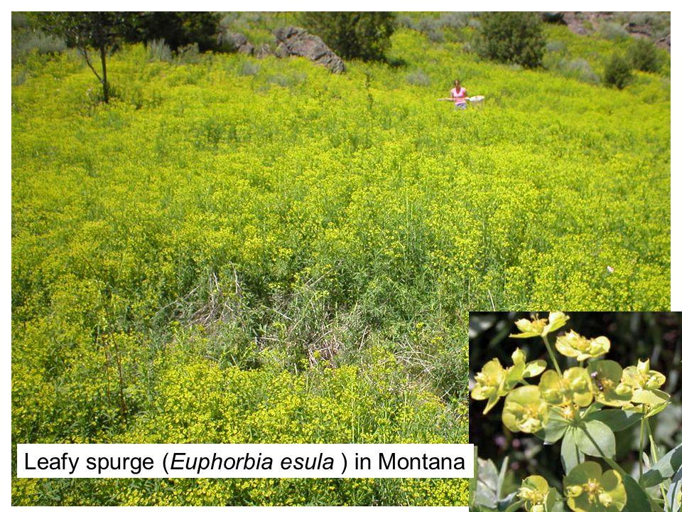 10/12/0716 Leafy spurge (Euphorbia esula ) in Montana
