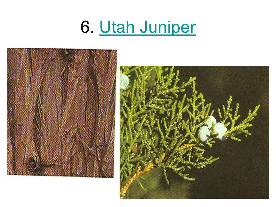 6. Utah JuniperUtah Juniper