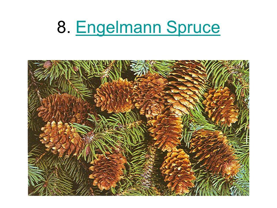 8. Engelmann SpruceEngelmann Spruce