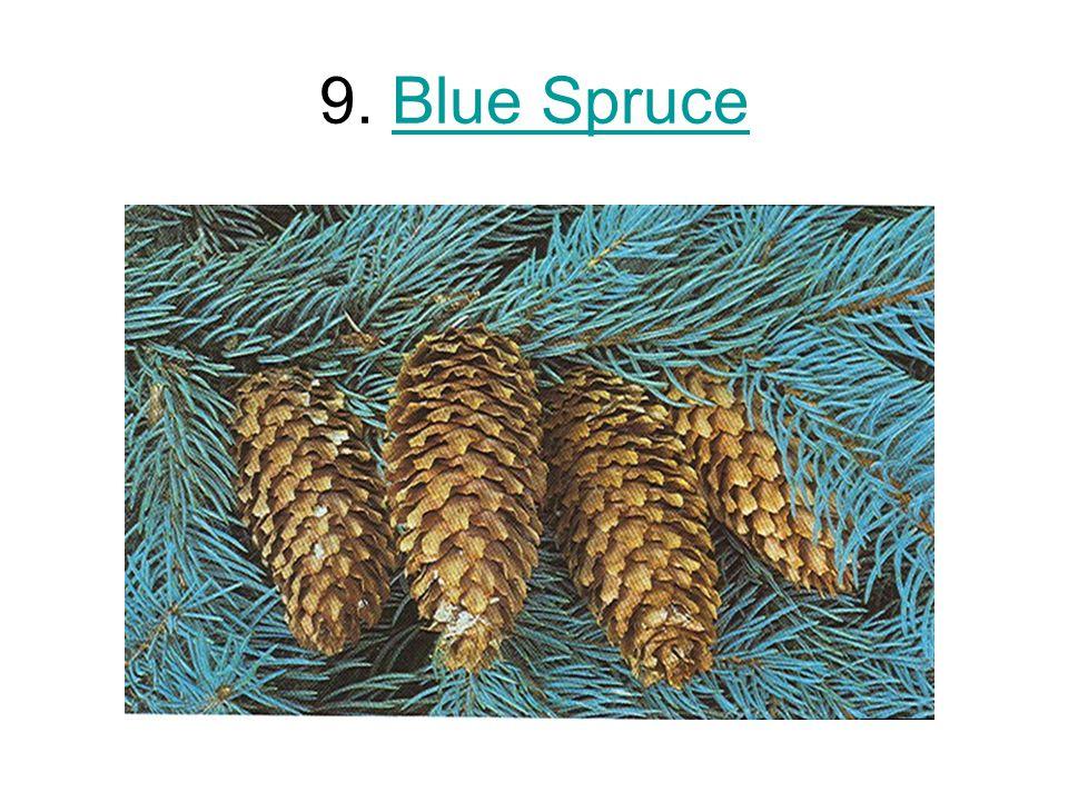 9. Blue SpruceBlue Spruce