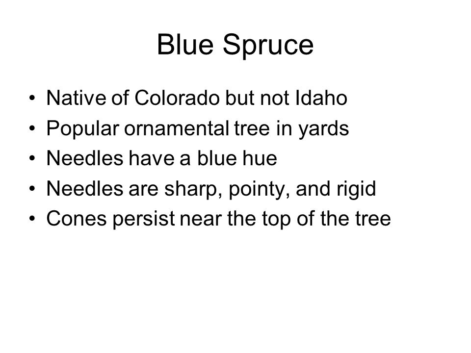 Native of Colorado but not Idaho Popular ornamental tree in yards Needles have a blue hue Needles are sharp, pointy, and rigid Cones persist near the top of the tree