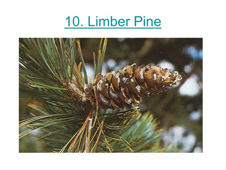 10. Limber Pine