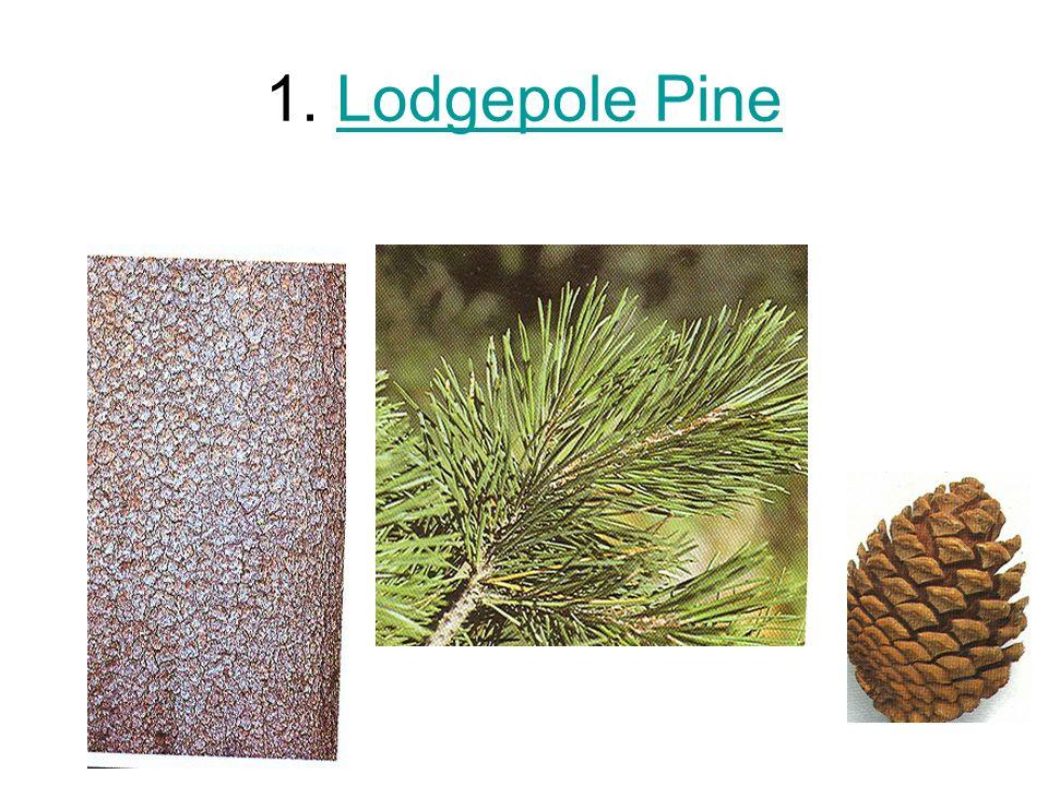 1. Lodgepole PineLodgepole Pine