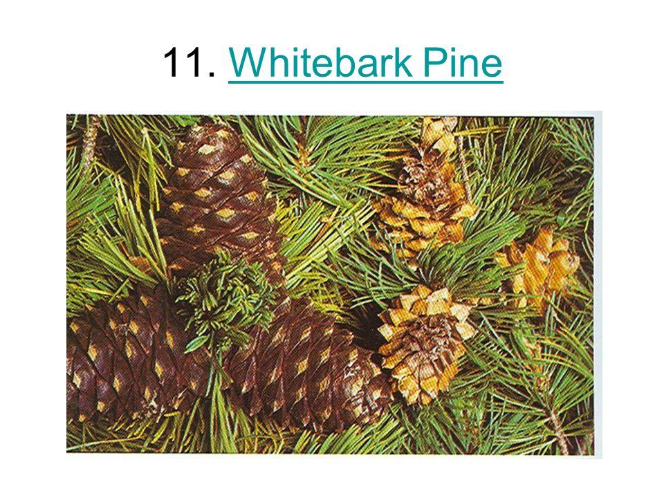 11. Whitebark PineWhitebark Pine