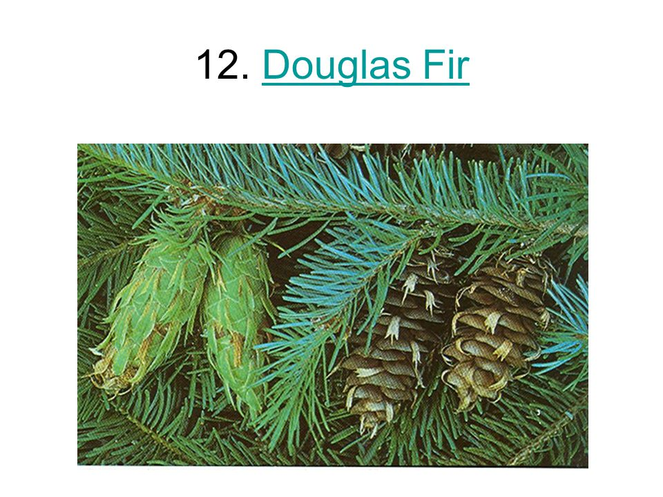12. Douglas FirDouglas Fir