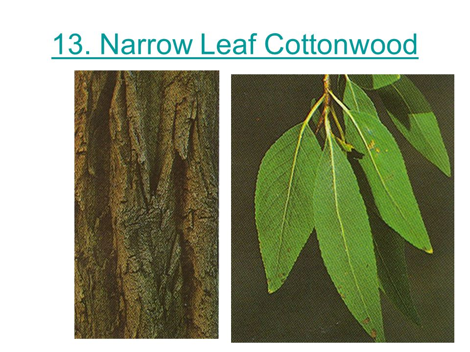 13. Narrow Leaf Cottonwood