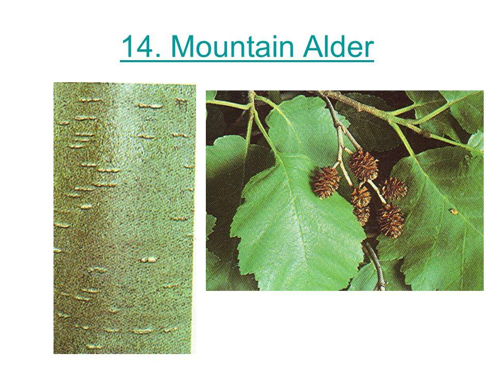 14. Mountain Alder