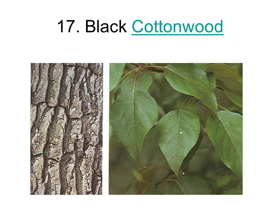 17. Black CottonwoodCottonwood