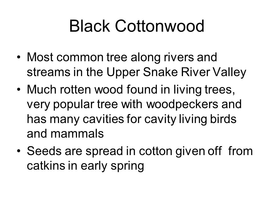 Black Cottonwood Most common tree along rivers and streams in the Upper Snake River Valley Much rotten wood found in living trees, very popular tree with woodpeckers and has many cavities for cavity living birds and mammals Seeds are spread in cotton given off from catkins in early spring