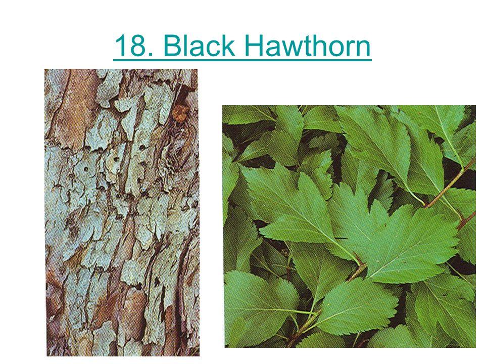 18. Black Hawthorn
