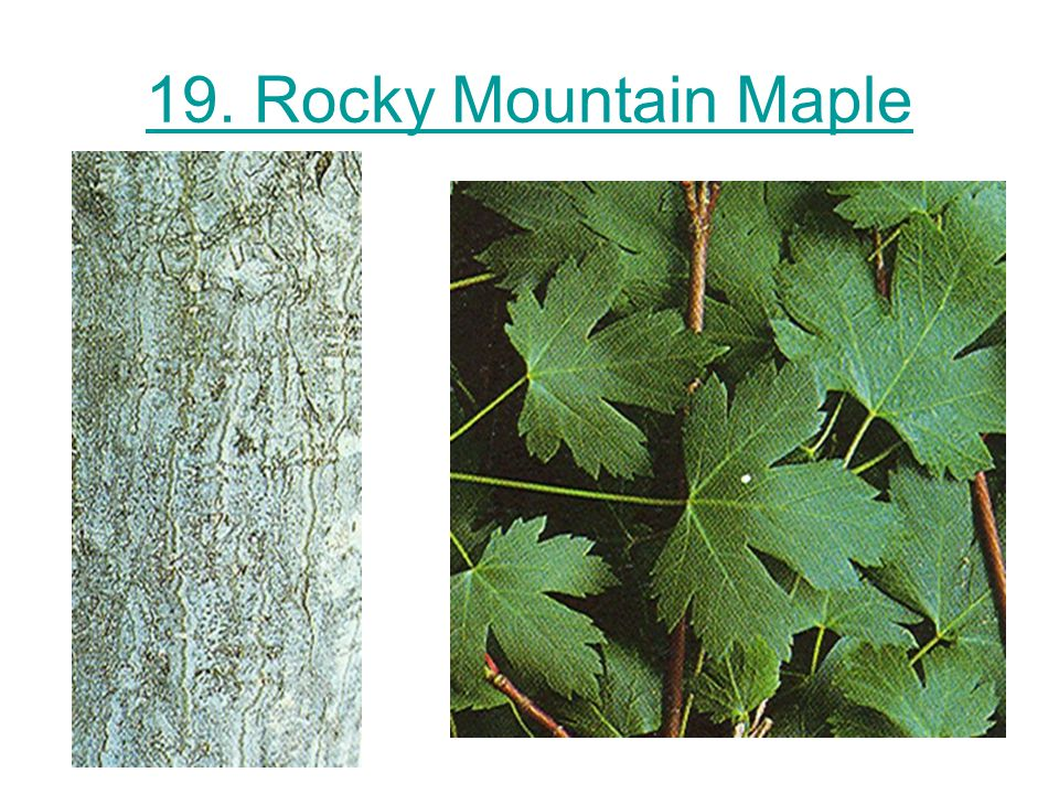 19. Rocky Mountain Maple