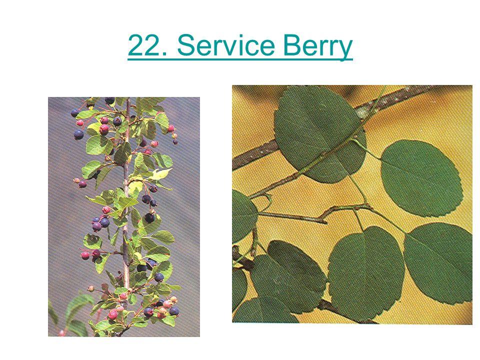22. Service Berry