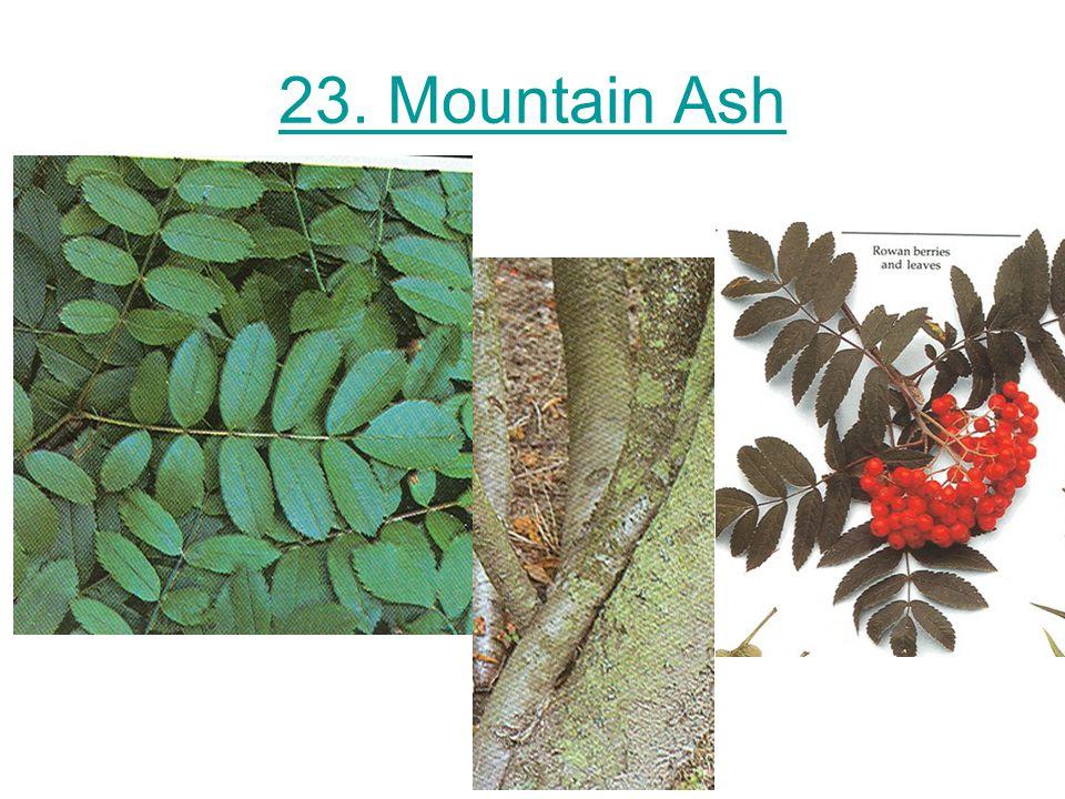 23. Mountain Ash