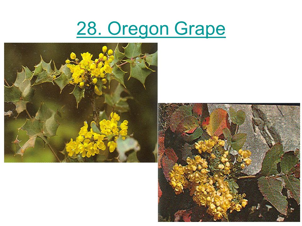 28. Oregon Grape