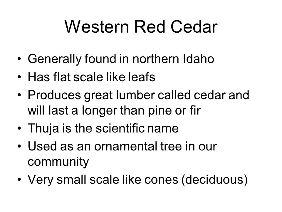 Generally found in northern Idaho Has flat scale like leafs Produces great lumber called cedar and will last a longer than pine or fir Thuja is the scientific name Used as an ornamental tree in our community Very small scale like cones (deciduous)