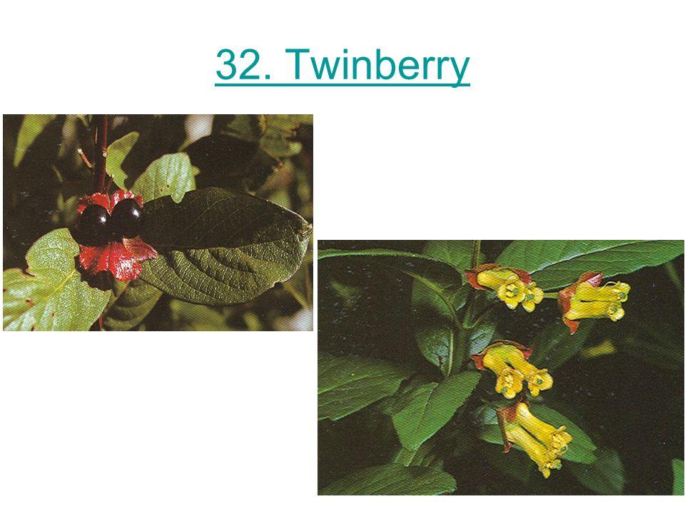 32. Twinberry