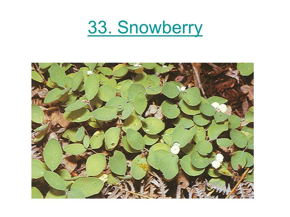 33. Snowberry