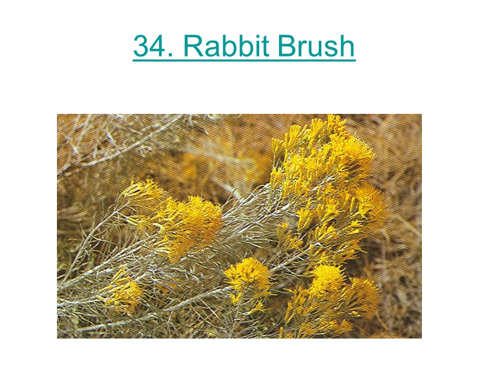 34. Rabbit Brush