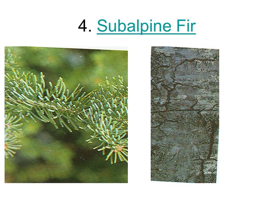 4. Subalpine Fir