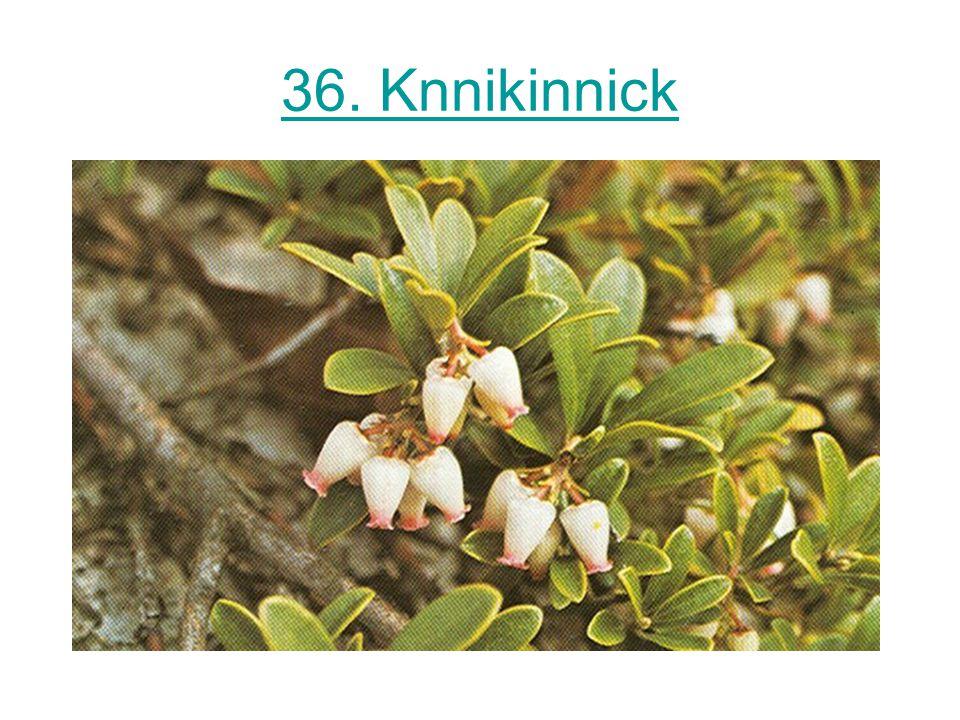 36. Knnikinnick