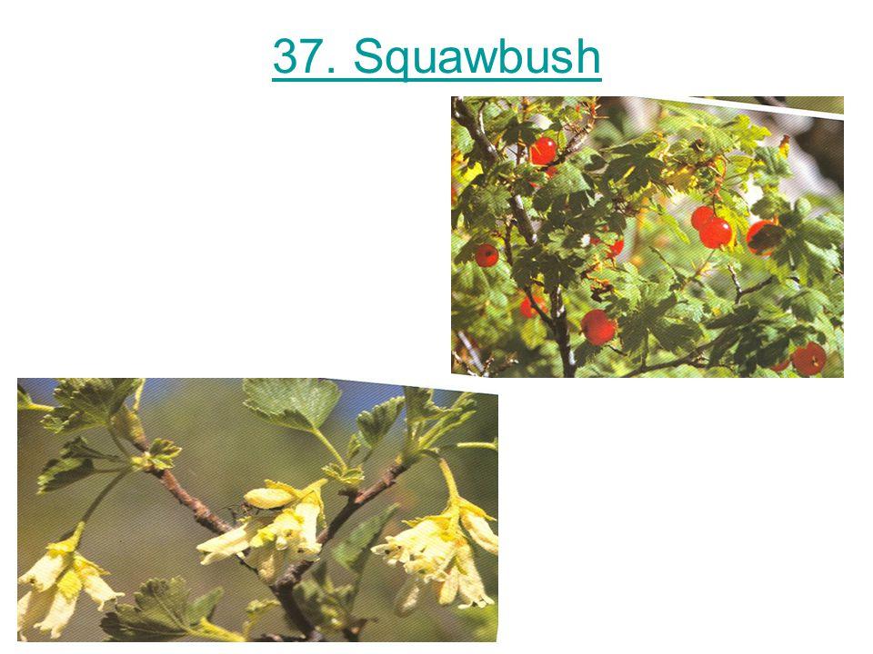 37. Squawbush