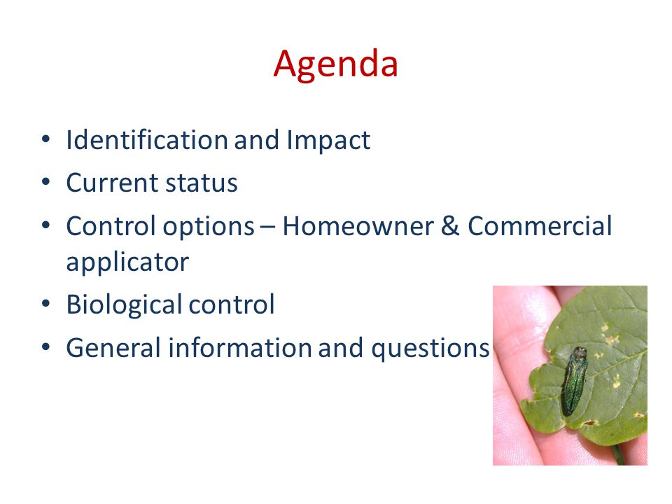 Agenda Identification and Impact Current status Control options – Homeowner & Commercial applicator Biological control General information and questions