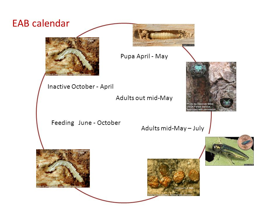 EAB calendar Feeding June - October Inactive October - April Adults mid-May – July Adults out mid-May Pupa April - May