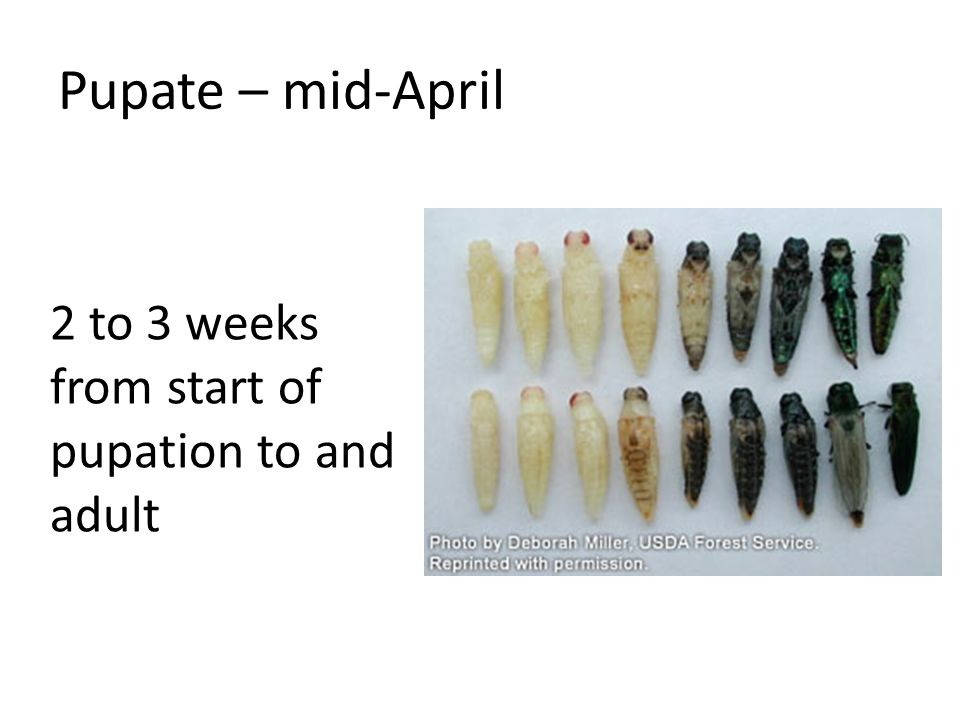 Pupate – mid-April 2 to 3 weeks from start of pupation to and adult