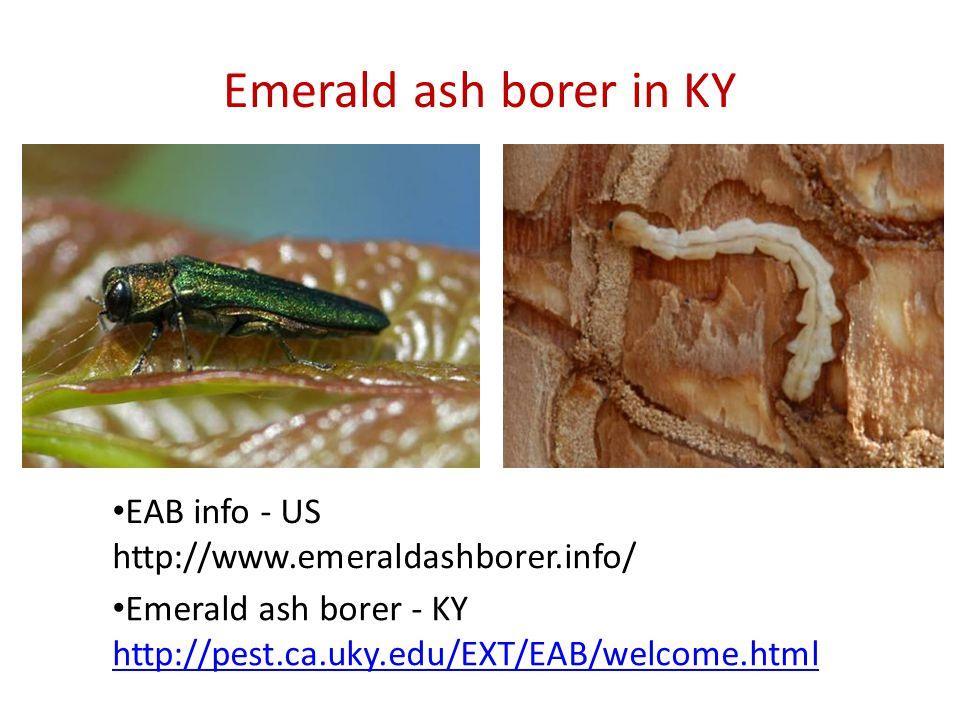 Emerald ash borer in KY Emerald ash borer - KY http://pest.ca.uky.edu/EXT/EAB/welcome.html EAB info - US http://www.emeraldashborer.info/