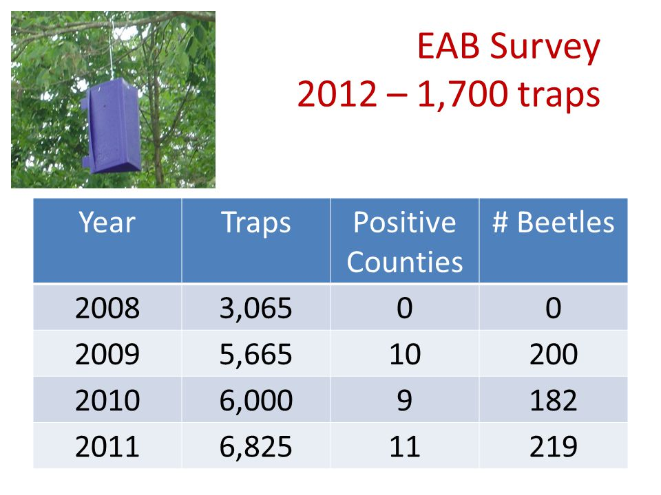 EAB Survey 2012 – 1,700 traps YearTrapsPositive Counties # Beetles 20083,06500 20095,66510200 20106,0009182 20116,82511219