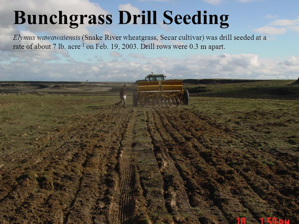 Bunchgrass Drill Seeding Elymus wawawaiensis (Snake River wheatgrass, Secar cultivar) was drill seeded at a rate of about 7 lb.