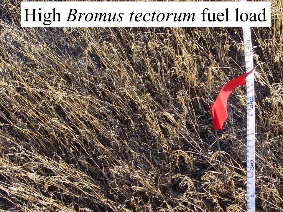 High Bromus tectorum fuel load