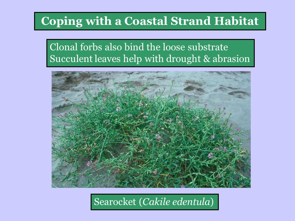Clonal forbs also bind the loose substrate Succulent leaves help with drought & abrasion Searocket (Cakile edentula) Coping with a Coastal Strand Habitat