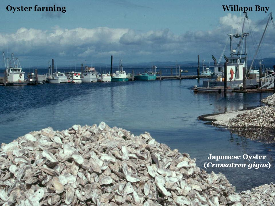 Oyster farming Willapa Bay Japanese Oyster (Crassotrea gigas)