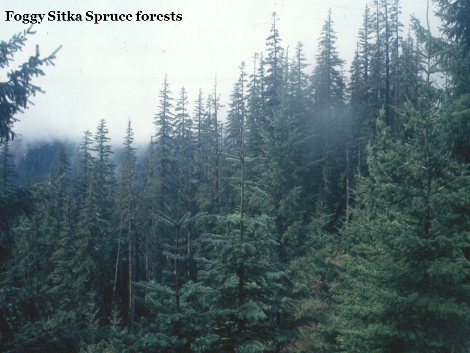 Foggy Sitka Spruce forests