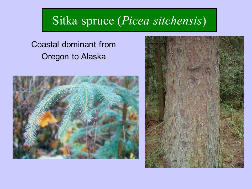 Sitka spruce (Picea sitchensis) Coastal dominant from Oregon to Alaska