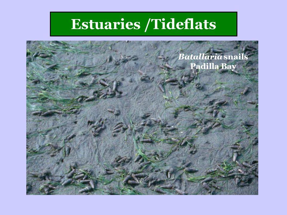 Estuaries /Tideflats Batallaria snails Padilla Bay