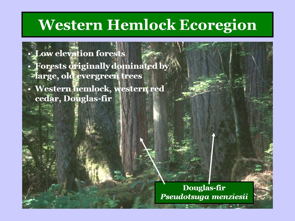 Western Hemlock Ecoregion Low elevation forests Forests originally dominated by large, old evergreen trees Western hemlock, western red cedar, Douglas-fir Douglas-fir Pseudotsuga menziesii