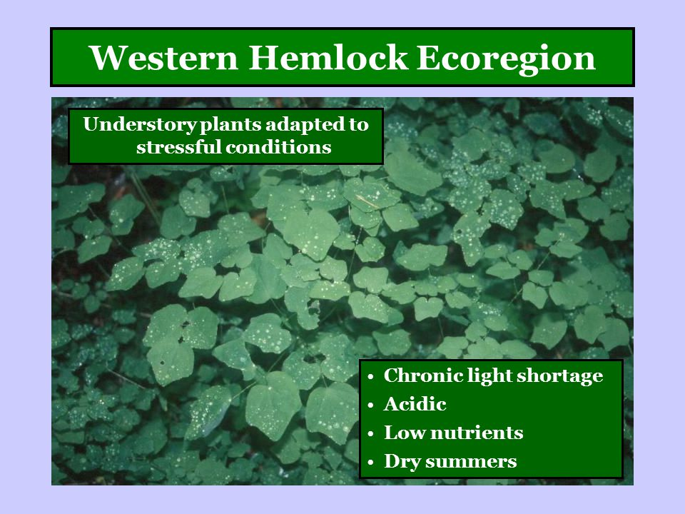 Western Hemlock Ecoregion Understory plants adapted to stressful conditions Chronic light shortage Acidic Low nutrients Dry summers