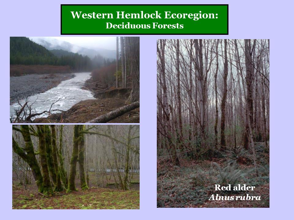 Western Hemlock Ecoregion: Deciduous Forests Red alder Alnus rubra