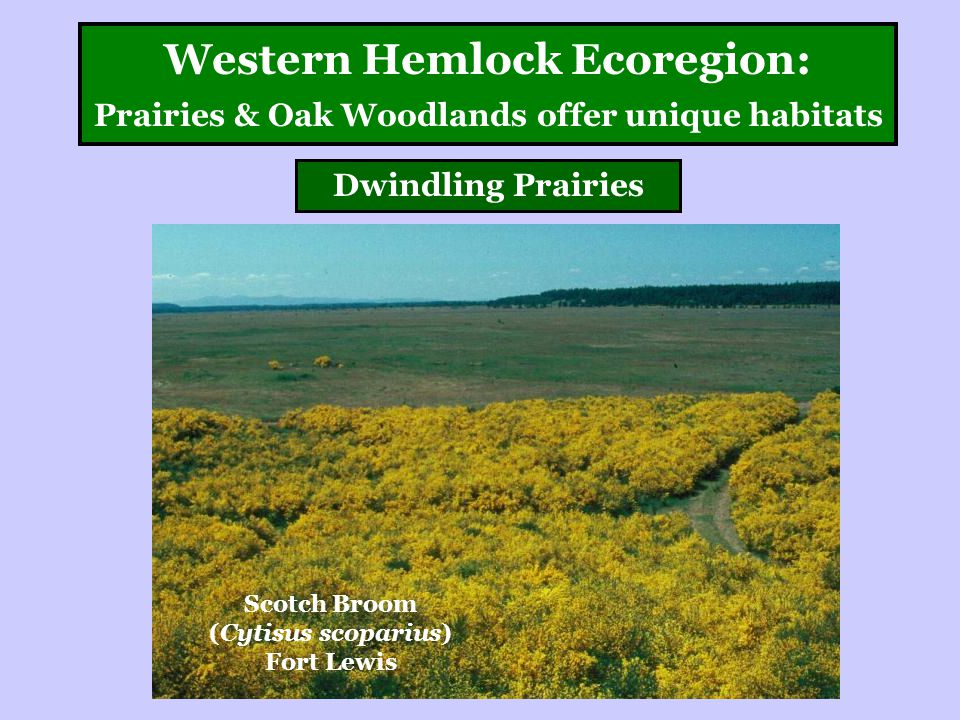 Western Hemlock Ecoregion: Prairies & Oak Woodlands offer unique habitats Dwindling Prairies Scotch Broom (Cytisus scoparius) Fort Lewis