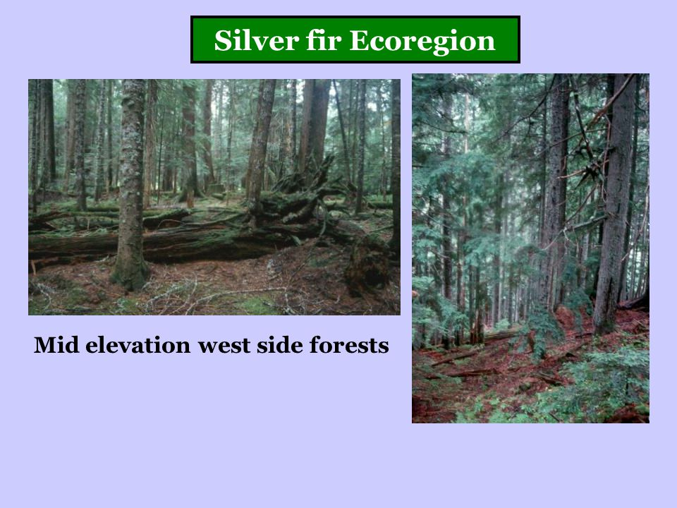Silver fir Ecoregion Mid elevation west side forests