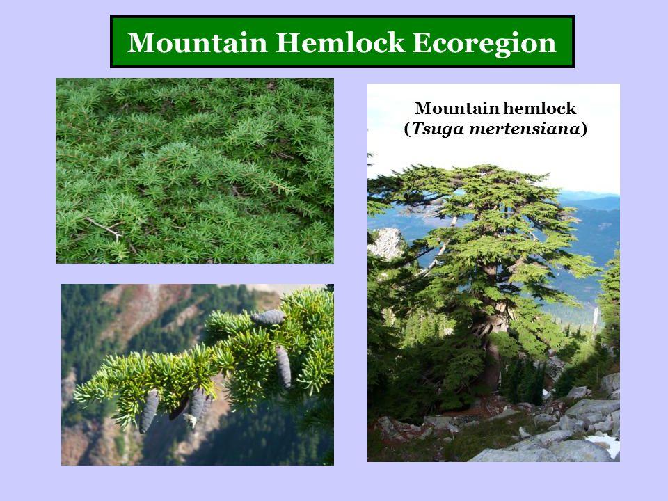 Mountain Hemlock Ecoregion Mountain hemlock (Tsuga mertensiana)