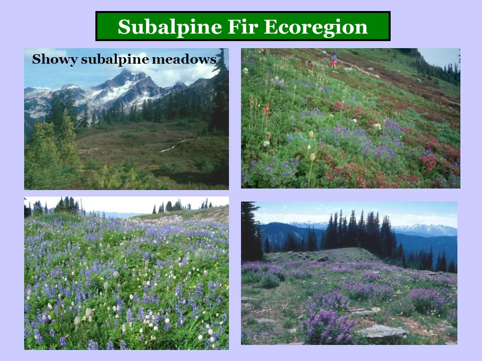 Subalpine Fir Ecoregion Showy subalpine meadows