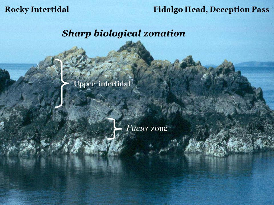Rocky Intertidal Fidalgo Head, Deception Pass Fucus zone Upper intertidal Sharp biological zonation